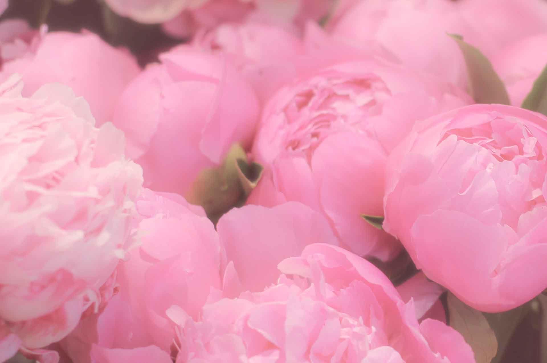 De belles pivoines roses