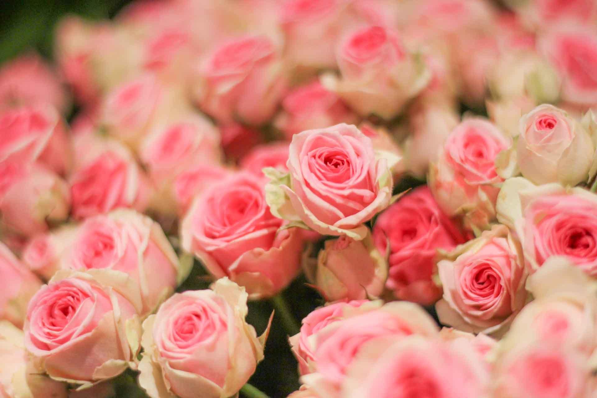 Des roses de jardin