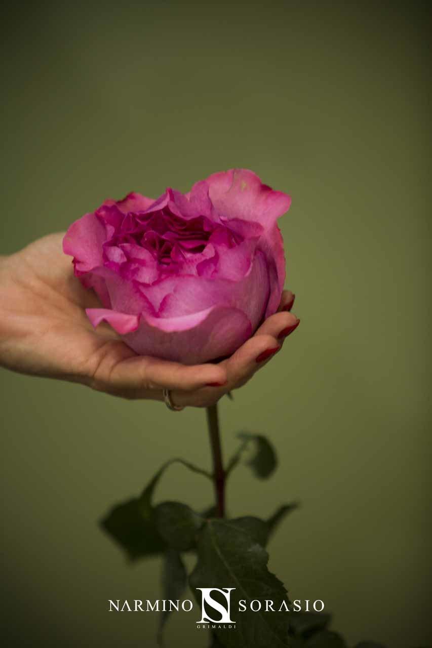 Gros plan sur une rose