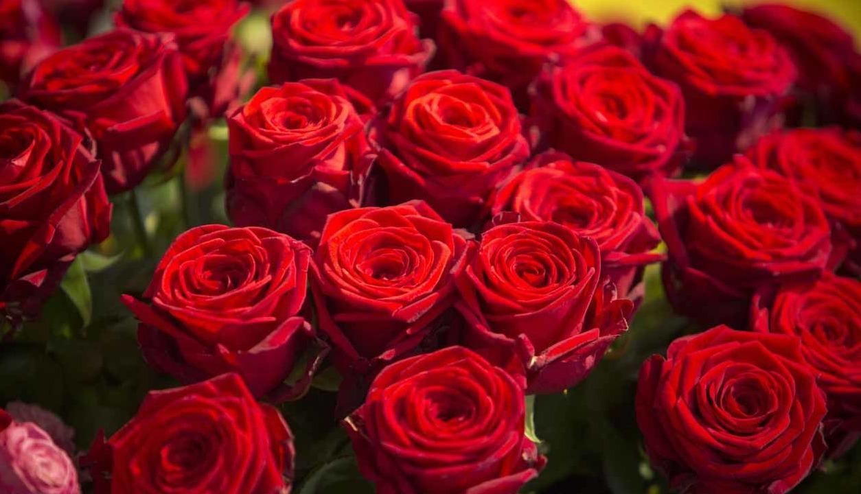 Gros plan sur l'aspect satiné de ces roses rouges