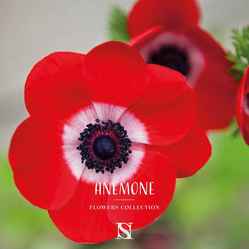 anemone-fleur