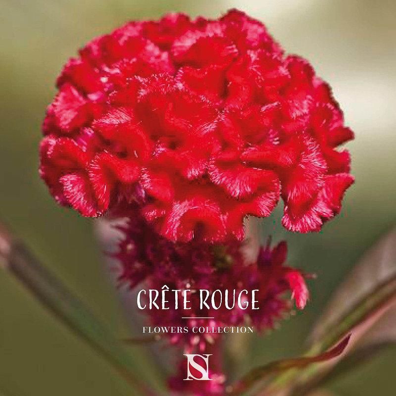 Crête de coq rouge fleur