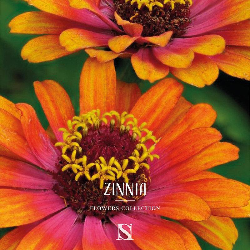 fleur-zinnia