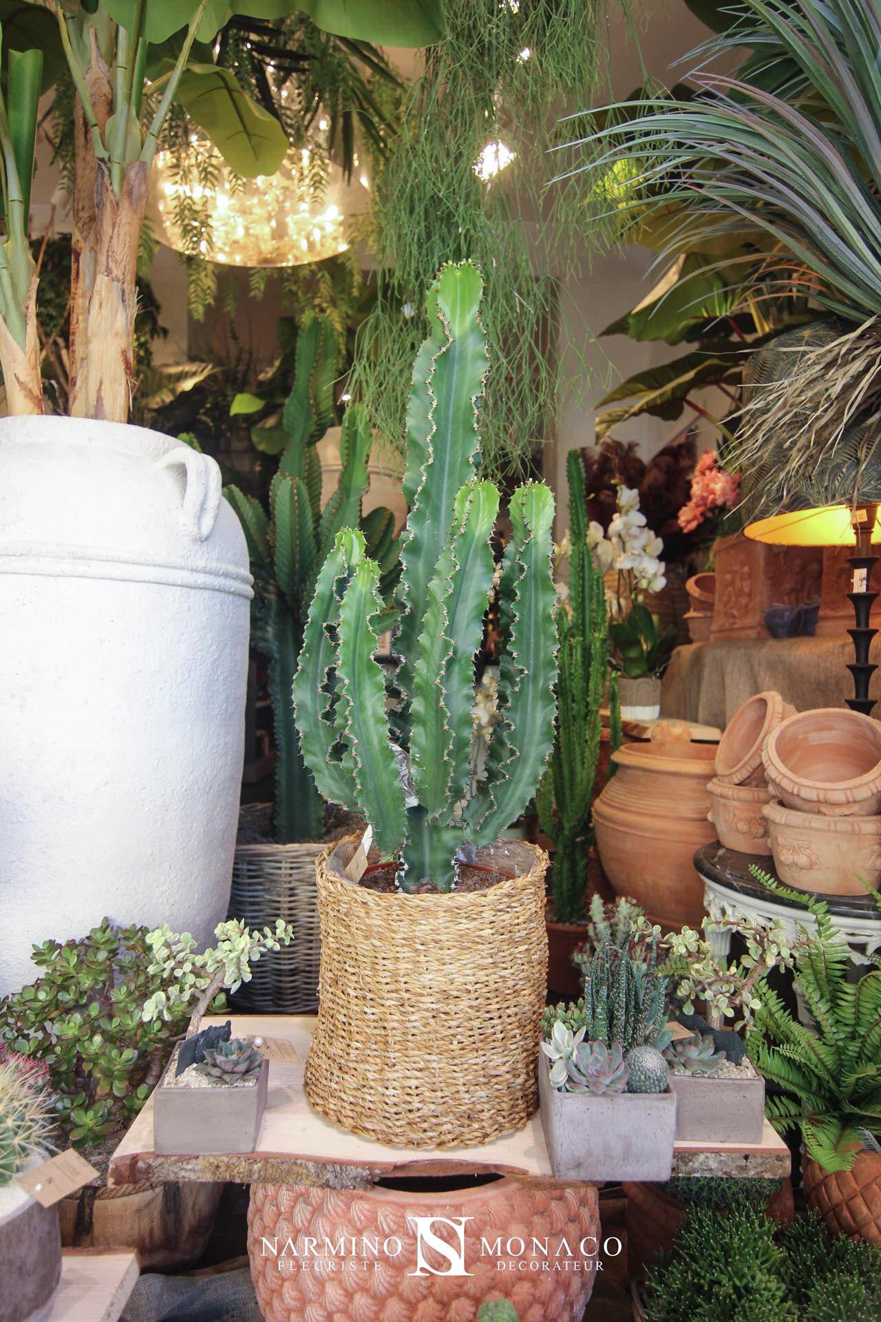 "Un cactus ""chandelier"""
